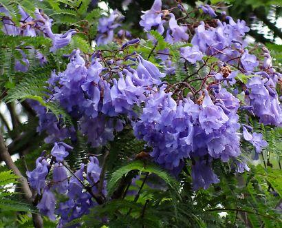 東ジャカランダの花咲く寺-5
