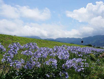 土手に咲くアガパンサス-2
