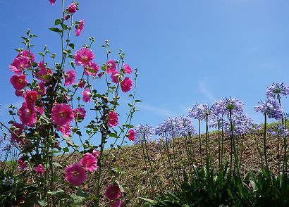 土手に咲くアガパンサス-3
