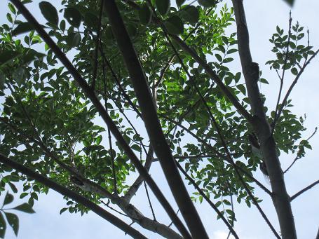 セミのなる木