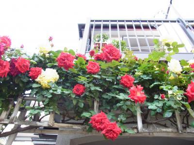 赤と黄色のバラのパーゴラ