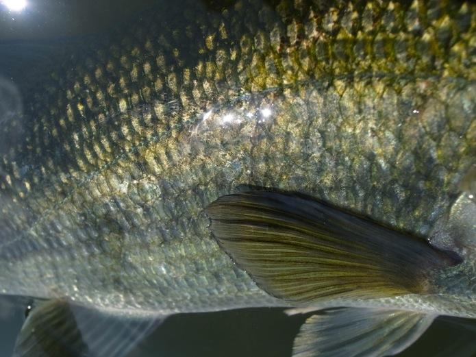 bassfin260413.jpg