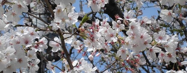 桜も満開-2-