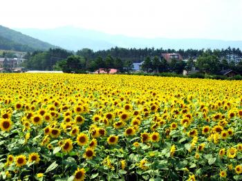 soubetu-sunflower+025_convert_20140211195749.jpg