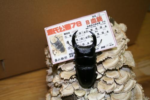 川西2012種親