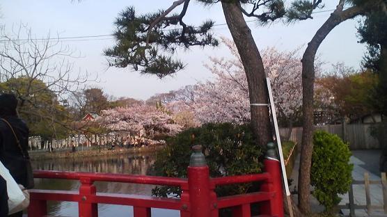 八幡宮桜修正