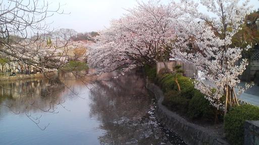 白はた桜修正