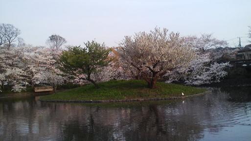 白旗池桜2修正