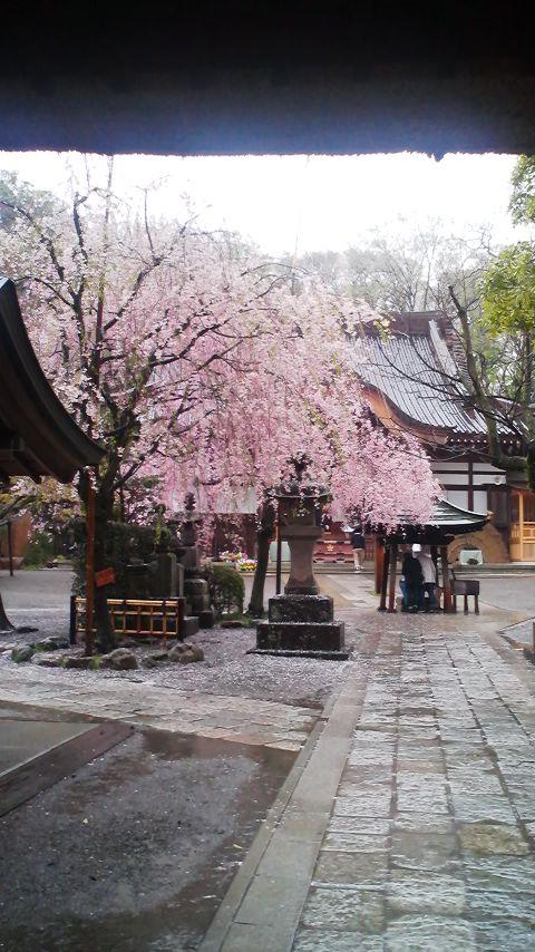 本堂前の桜2