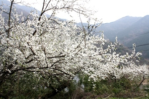 隣県某所の桜