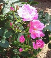 NEGMAMAのバラ1