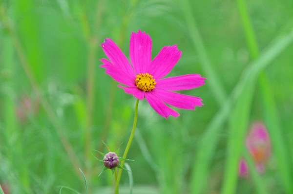 西条市 コスモスの花