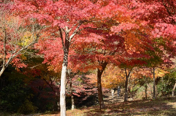 岡山県備前市閑谷 旧閑谷学校 黄葉亭周辺の紅葉