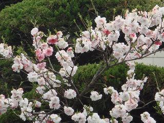 岸和田の春05
