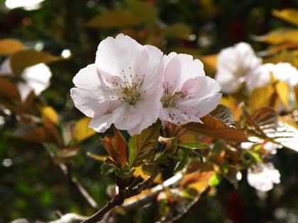 工房の桜2