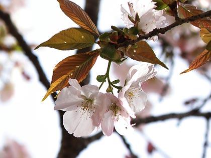 工房の桜3