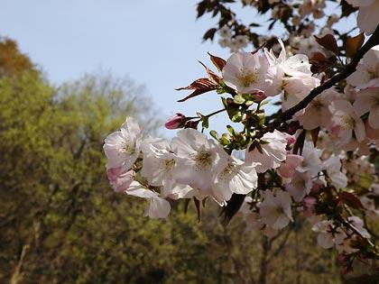 工房の桜4