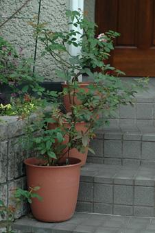 rose2012914-4.jpg