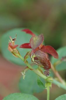 rose2012914-6.jpg