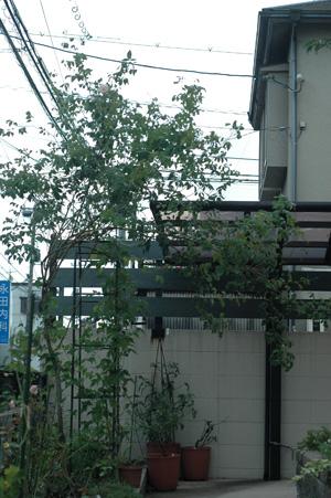 rose2012917.jpg