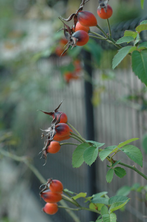 rosehip20121109.jpg