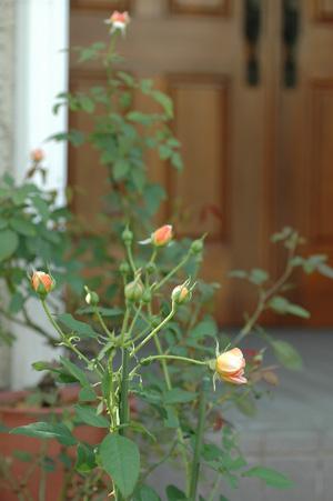 roses20121008-3.jpg