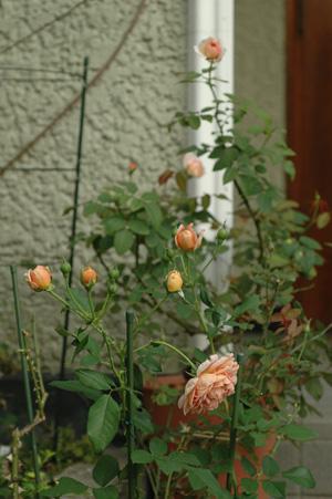 roses20121010.jpg