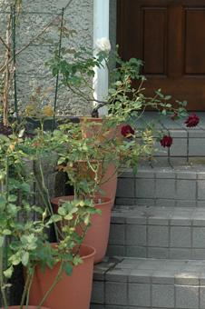 roses20121031-2.jpg