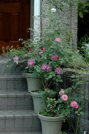 roses2012628-1.jpg