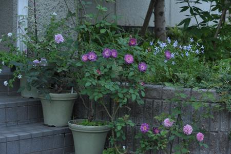 roses2012629-1.jpg