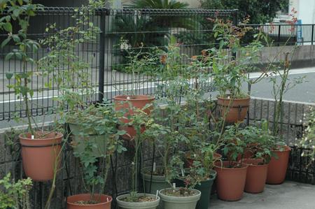 roses2012815.jpg