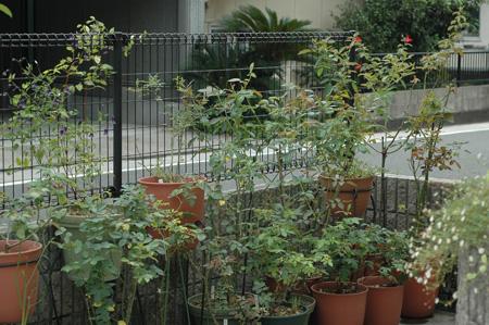 roses2012823-2.jpg