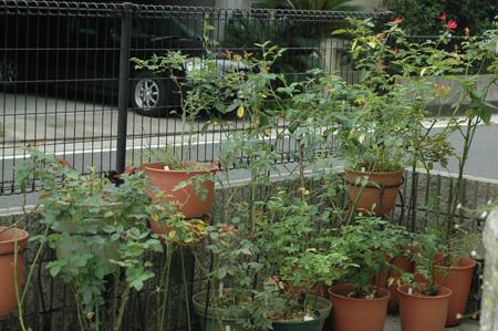 roses2012831-1.jpg