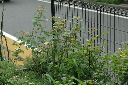 roses2012831-2.jpg