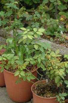 roses2012831-3.jpg