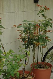 roses2012831-4.jpg