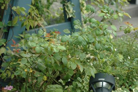 roses2012831-5.jpg