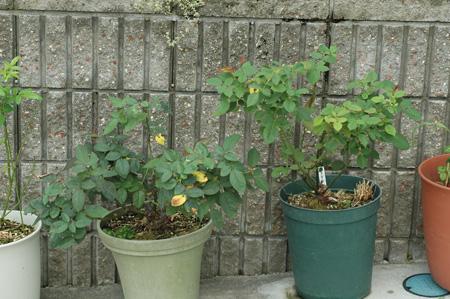 roses2012831-6.jpg