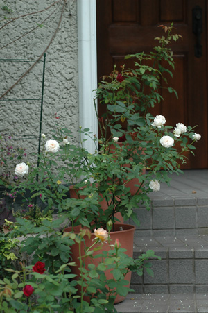 roses2012930.jpg