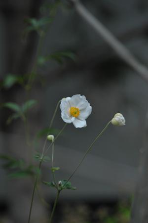 shumeigiku20121022.jpg