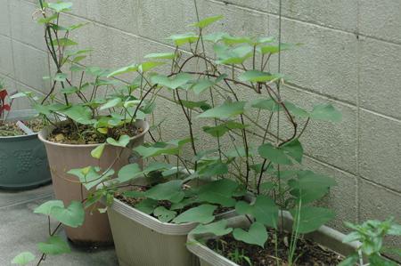 sweetpotato2012723.jpg