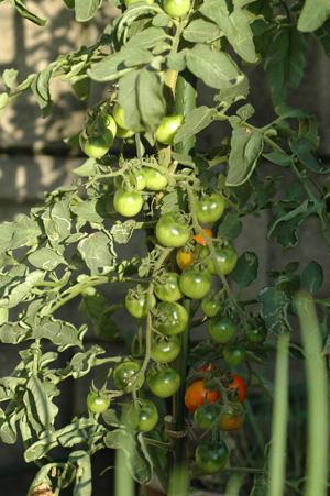 tomato20121005.jpg