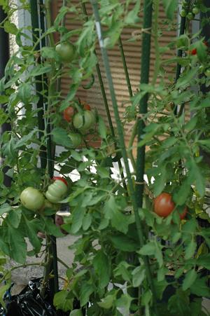 tomato2012701-2.jpg
