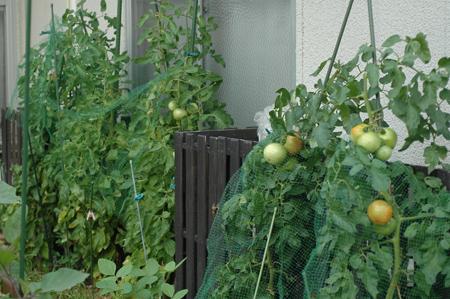 tomato2012723.jpg