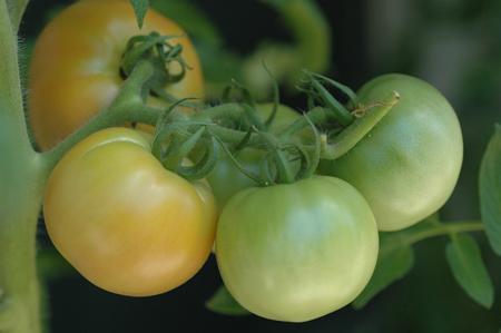 tomato2012803.jpg