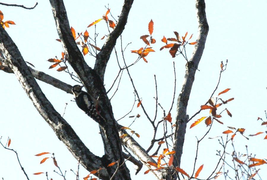 アカゲラ2014-11-30-3-18高槻市-摂津峡IMG_1596