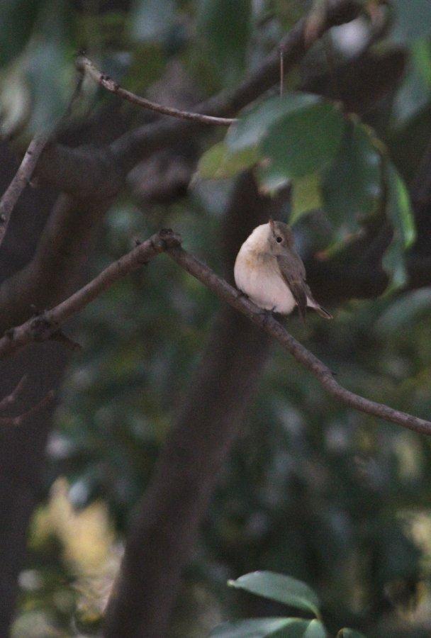 オジロビタキ2014-12-7-8-18大阪城公園IMG_0518