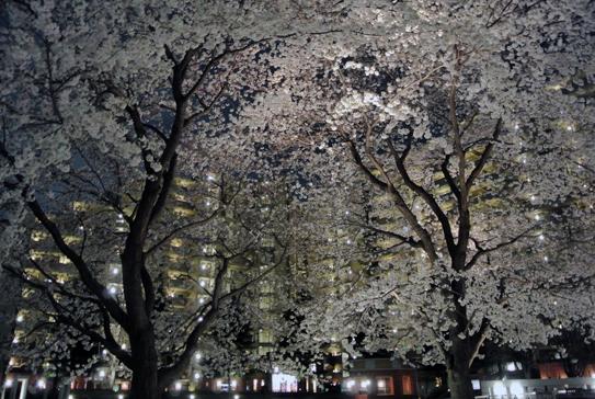 nightsakura1204.jpg