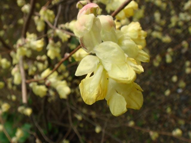 自宅の庭も春欄満! 2012-03-30 001 (640x480) (640x480)