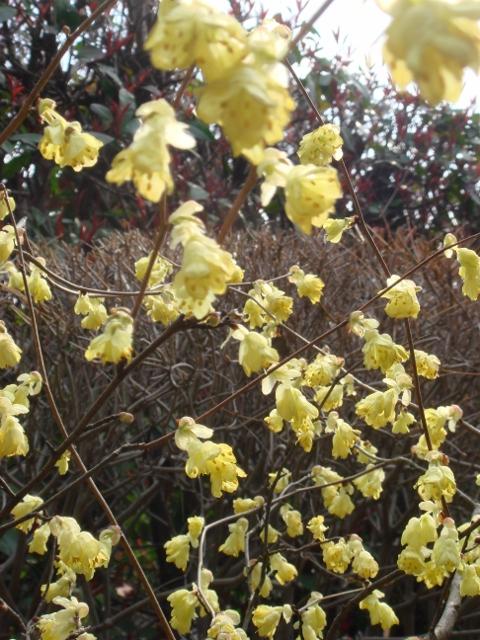 自宅の庭も春欄満! 2012-03-30 002 (480x640)
